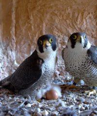 zwei Falken brüten über ihrem Gelege