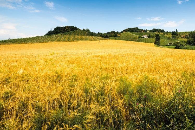gelbe Kornfelder vor Hügeln mit Reben