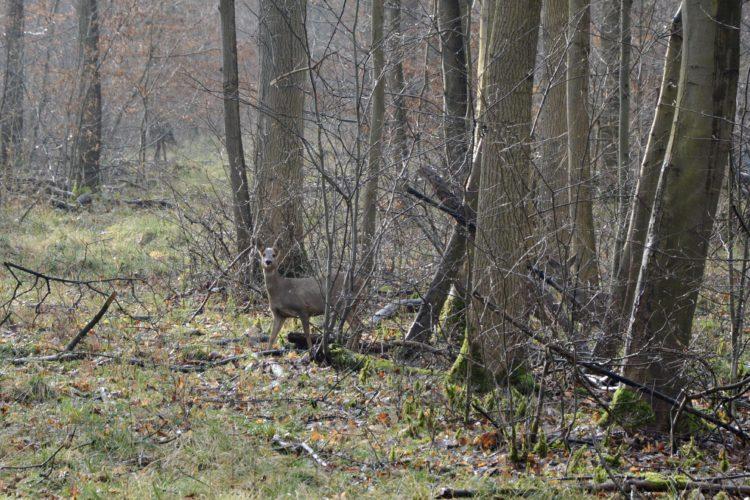 Ein Reh ist versteckt im Wald zu sehen.